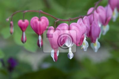 Krwawienie serca kwiaty
