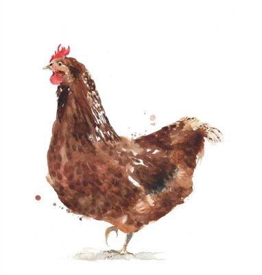 kura kurczak kogut akwarela Illustratio na białym tle