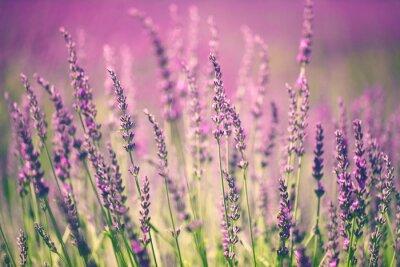 Obraz Kwiat lawendy