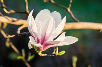 Obraz kwiat magnolii w słońcu