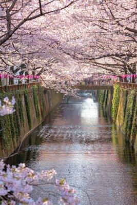 Obraz Kwiat wiśni wysadzanej Meguro Kanał w Tokio, Japonia.