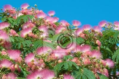 Kwiaty akacji (Albizzia julibrissin)