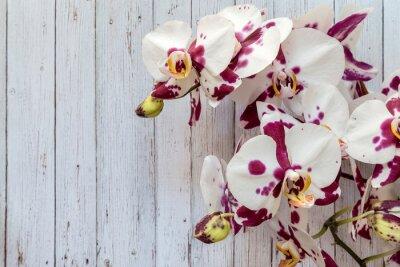 Obraz Kwiaty białych storczyków