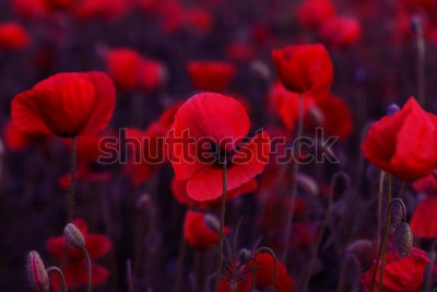 Obraz Kwiaty Czerwone maki kwitną na dzikim polu. Piękne czerwone maki pola z selektywnej ostrości. Tonowanie. Kreatywne przetwarzanie w ciemnych tonacjach niskich