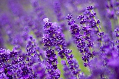 Obraz kwiaty lawendy