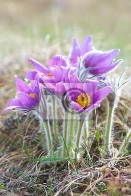 Kwiaty Pasqueflower (Pulsatilla patens)