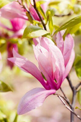 Obraz Kwitnąca różowe kwiaty magnolii w okresie wiosennym