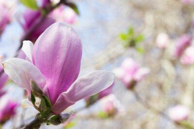 Obraz Kwitnący kwiat magnolii