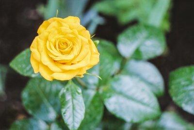 kwitnienie jednej pięknej żółtej róży z zielonymi liśćmi na zielonym tle