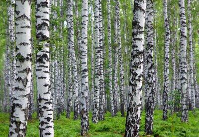 Obraz ładny brzozowy las lato