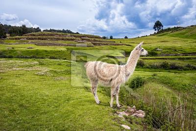 Lama w górach wokół Cusco, Peru