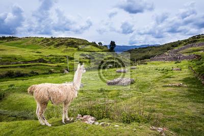 Lama w pobliżu Cusco, Peru