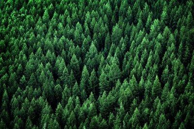 Obraz Las sosnowych drzew w górach Wilderness
