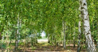 Obraz lasek brzozowy