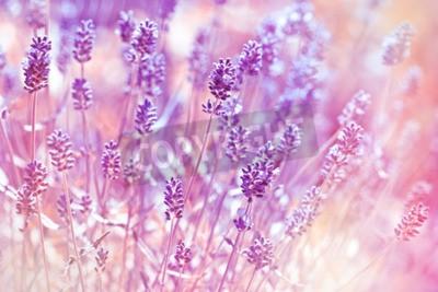 Obraz Lavender kwiaty w ogrodzie kwiatowym