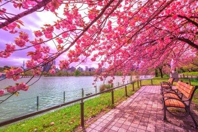 Obraz Ławki pod czereśniowymi drzewami w pełnym kwiacie podczas Hanami wzdłuż Shinobazu stawu w Ueno parku, park blisko Ueno staci, środkowy Tokio. Ueno Park jest uważane za najlepsze miejsce w Tokio dla kw