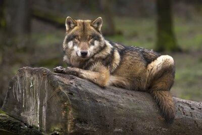 Obraz Le Loup gris