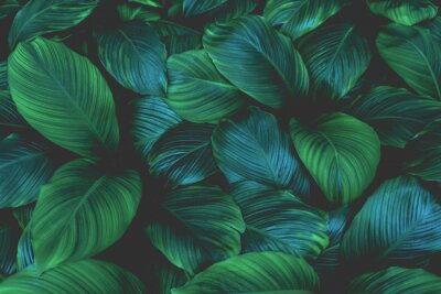 Obraz leaves of Spathiphyllum cannifolium, abstract green texture, nature background, tropical leaf