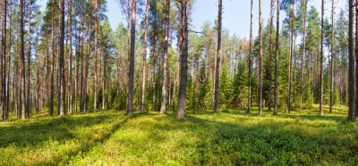 Obraz Letni las sosnowy panorama