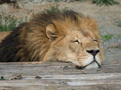 Obraz Lion uśpienia