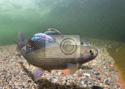 Obraz Lipień (Thymallus thymallus). Pływanie ryb słodkowodnych Thymallus thymallus, podwodne zdjęcia w czystej wodzie. Mieszkaj w górskim potoku. Piękne siedlisko rzeczne.