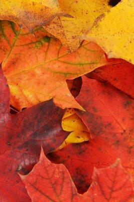 Obraz liście klonu