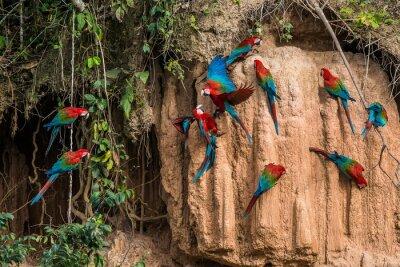 Obraz macaws in clay lick in the peruvian Amazon jungle at Madre de Di