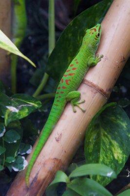 Obraz Madagaskaru Giant dni gecko