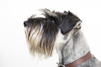 Obraz Mądry pies sznaucer
