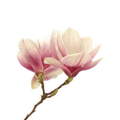 Obraz magnolia