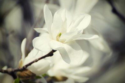 Obraz Magnolia białe kwiaty