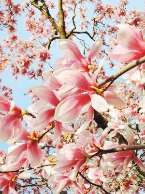 Obraz magnolia drzewa kwiat