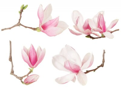 Obraz Magnolia flower twig spring collection on white, clipping path