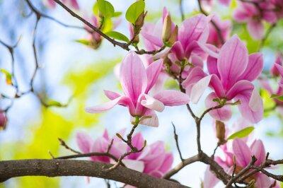 Obraz Magnolia kwiaty w parku