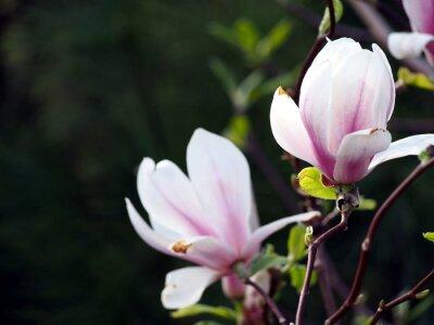 Obraz Magnolia pośrednia x 'Alexandrina'