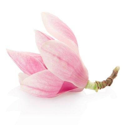 Obraz Magnolia, różowy kwiat wiosny na białym, strzyżenie ścieżka