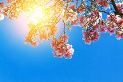 Obraz Magnolienblüten in der Sonne