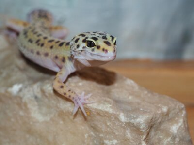 Obraz Mała Leopard gecko na kamieniu. ścieśniać
