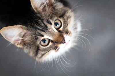 Obraz mały puszysty kotek na szarym tle