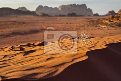 martwy krzew na wydmie w pustyni w Jordanii