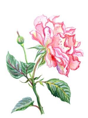 Menchii róża przed więdnąć, akwarela obraz na białym tle, odizolowywającym z ścinek ścieżką.