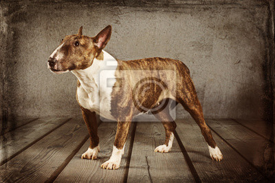 Obraz Miniatur Bull Terrier