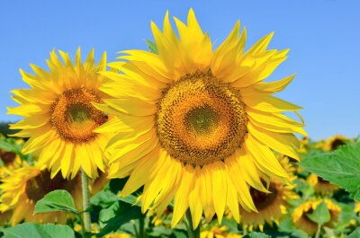 Obraz Młodzi Słoneczniki kwitną w dziedzinie na tle błękitnego nieba