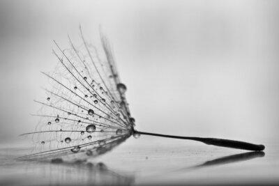 Obraz Mokre dandelion na białym, błyszczącej powierzchni z małych kropelek