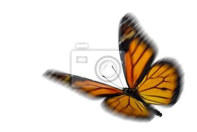 Obraz Monarcha (Danaus plexippus), migrujący motyl