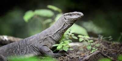 Obraz Monitor Lizard
