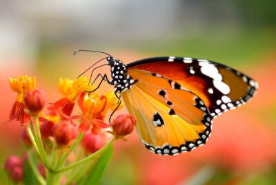 Obraz Motyl na pomarańczowy kwiat w ogrodzie