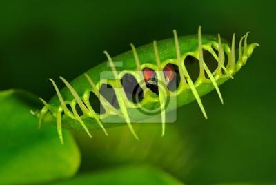 Obraz Muchołówka (Dionaea muscipula) z uwięzionym locie