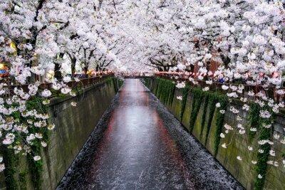 Obraz Nakameguro Kanal w Tokio während der Kirschblüte im Frühling