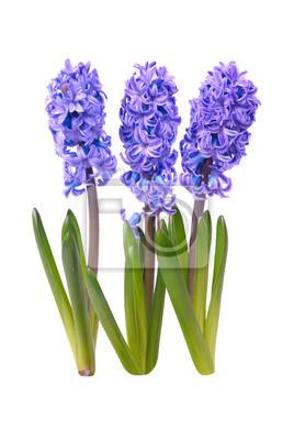 Niebieski hyacinthes